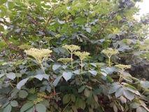Buisson fleurissant vert de ressort avec les fleurs blanches Photos libres de droits