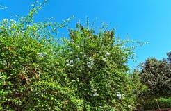 Buisson géant rayonnant avec des fleurs et un ciel bleu photo libre de droits