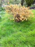 Buisson jaune Photo libre de droits