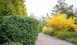 Buisson jaune de forsythia pendant la floraison photos libres de droits