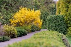 Buisson jaune de forsythia pendant la floraison photographie stock libre de droits