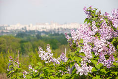Buisson lilas Images stock