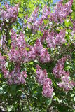 Buisson lilas Image stock