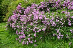 Buisson lilas Photographie stock
