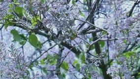 Buisson lilas dans la casserole Taganrog de parc banque de vidéos