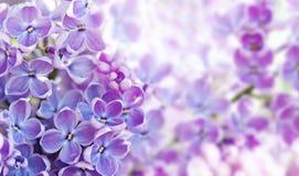 Buisson lilas de floraison de Syringa de macro vue Paysage de printemps avec le groupe de fleurs violettes usines de floraison de images libres de droits