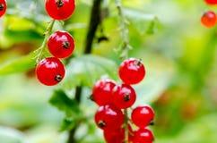 Buisson mûr frais de groseille rouge dans le jardin L'élevage, préparent au harv Photo libre de droits