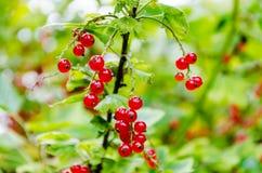 Buisson mûr frais de groseille rouge dans le jardin L'élevage, préparent au harv Image libre de droits