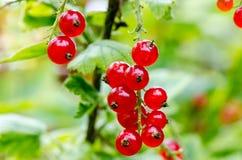 Buisson mûr frais de groseille rouge dans le jardin L'élevage, préparent au harv Images stock