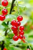 Buisson mûr frais de groseille rouge dans le jardin L'élevage, préparent au harv Photographie stock libre de droits
