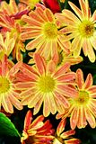 Buisson orange de chrysanthèmes d'automne photos stock