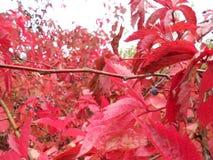 Buisson pourpre d'automne Photographie stock libre de droits