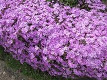 Buisson pourpre de fleur Photographie stock libre de droits
