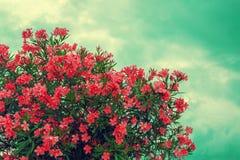 Buisson rose de floraison de rhododendron photo libre de droits