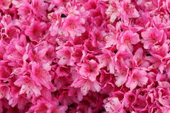 Buisson rose vibrant d'azalée image stock