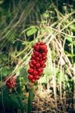 Buisson rouge de baie dans la forêt Photos libres de droits