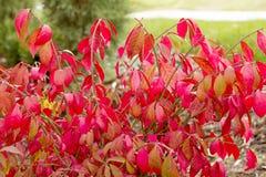 Buisson rouge de feuillage Photographie stock libre de droits