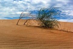 Buisson sauvage dans le désert dunaire Images libres de droits