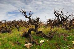 Buisson sinistre magique de raisin photographie stock libre de droits