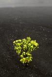 Buisson unique d'ohia en volcan noir Image libre de droits