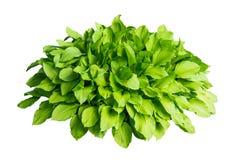 Buisson vert avec de grandes feuilles d'isolement sur le fond blanc Photographie stock libre de droits