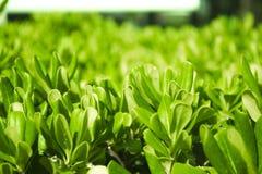 Buisson vert avec de petites feuilles Fond vert normal image stock