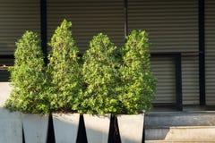 Buisson vert d'arbre dans le pot blanc à la lumière de matin Photos stock