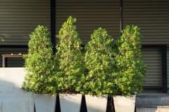 Buisson vert d'arbre dans le pot blanc à la lumière de matin Photos libres de droits