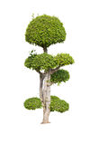 Buisson vert d'isolement Photos stock