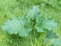 Buisson vert de bardane de ressort parmi l'herbe verte Photographie stock