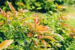 Buisson vert rouge avec de petites feuilles épineuses Photos stock