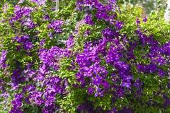 Buissons bleus de clématite dans le jardin Photo libre de droits