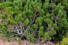 Buissons coniféres Photo libre de droits