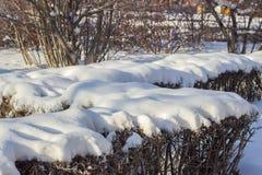 Buissons couverts de neige en Sibérie Photographie stock