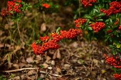 Buissons d'automne photographie stock libre de droits