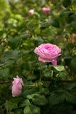 Buissons d'odorata de floraison de rosa de thé rose dans un jardin ensoleillé Photographie stock libre de droits