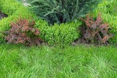 Buissons de berbéris rouge, de genévrier bleu et de buis dans le jardin Photographie stock