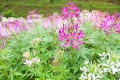 Buissons de fleur dans le jardin Images libres de droits
