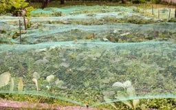 Buissons de fraise couverts de réseau des oiseaux Photo stock