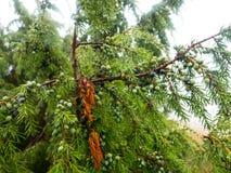 Buissons de fruit de genévrier dans les bois Photographie stock