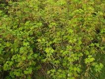 Buissons de groseille rouge de floraison (rubrum L de Ribes ) Images libres de droits