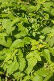 Buissons de l'élevage de framboise Photographie stock libre de droits