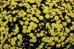 Buissons de marguerite jaunes Photo stock