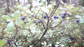 Buissons de myrtille dans les bois clips vidéos