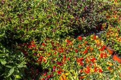 Buissons de poivre de piments Photo libre de droits