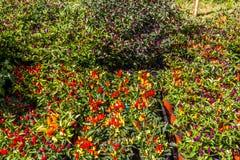Buissons de poivre de piments Photographie stock libre de droits