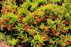 Buissons de Pyracantha avec les baies de couleur orange Photos libres de droits