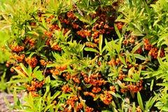 Buissons de Pyracantha avec les baies de couleur orange Image libre de droits