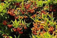 Buissons de Pyracantha avec les baies de couleur orange Images stock