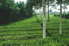 Buissons de thé dans les montagnes de l'Asie photos libres de droits